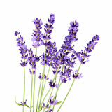 Bunch of lavender flowers on white background. Lavender flowers on white background stock photo