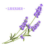 Bunch of lavender. Bunch of lavender flowers on a white background royalty free illustration