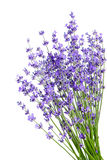 Bunch of lavender flowers on white background stock image