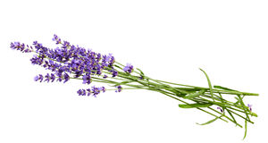 Bunch of lavender flowers on white background royalty free stock images