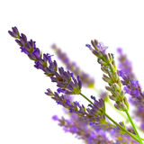 Bunch of lavender isolated over white. Bunch of lavender (lamiaceae) on blurred background and isolated on white Royalty Free Stock Images