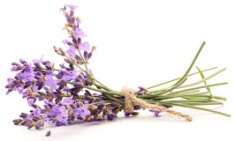 Bunch of lavender. Stock Image