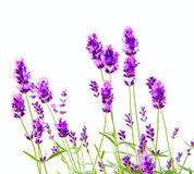 Bunch of lavender. Bunch of lavender on a white background Royalty Free Stock Photography