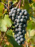 Bunch and leaves of grape cluster Lambrusco di Modena, Italy royalty free stock photography