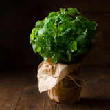 Bunch of lemon balm (melissa) on a wooden background. Bunch of lemon balm (melissa) in a glass wrapped kraft paper on a wooden background. Low key royalty free stock photography