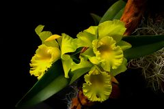 Bunch of light green cattleya orchids background. Wallpaper of beautiful light green cattleya orchids against dark background stock photos