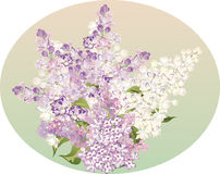 Bunch of light lilac flowers Royalty Free Stock Images