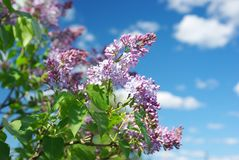 Bunch of lilac Stock Image