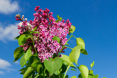 Bunch of lilac flower Stock Photo