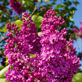 Bunch of lilac flower Royalty Free Stock Images