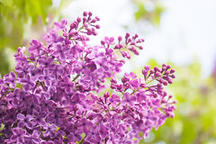 Bunch of lilac flower. Violet blooming flowers background. soft focus Stock Photos