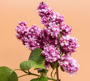 Bunch of lilac flowers isolated on brown Royalty Free Stock Photography