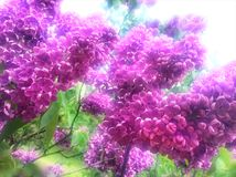 Bunch of lilac flowers. Royalty Free Stock Images