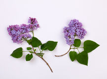 Bunch of lilac flowers Stock Photo