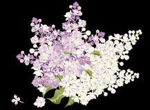 Bunch of lilac isolated on black Stock Image