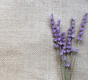 Bunch of lilac lavender flowers on sackcloth Royalty Free Stock Image