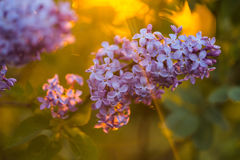 Bunch of lilac in the rays of the setting sun Stock Photo