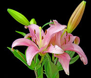 A bunch of Lilies. A bunch of pink Lilies Royalty Free Stock Photos