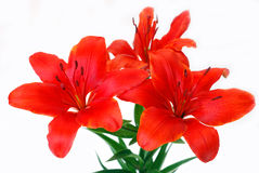 Bunch of lily isolated on white. Bunch of burgundy red tiger lily isolated on white Royalty Free Stock Photos