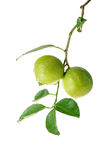 Bunch of limes with leaf on white . Stock Photos