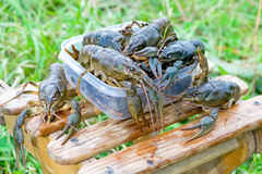 A bunch of live crayfish Royalty Free Stock Image