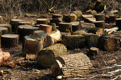 Bunch of logs in spring forest Stock Photography