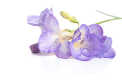 Bunch of lovely freesia on white Royalty Free Stock Photography