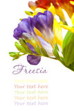 Bunch of lovely freesia on white background Stock Photography