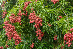 Bunch of lychees. On a big tree, Reunion island stock photography