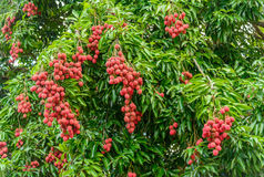 Bunch of lychees on a tree Stock Photography