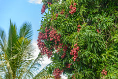 Bunch of lychees on a tree Royalty Free Stock Photos