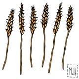 Bunch of Malt Doodle Sketsh. Ripe Ears of Malt, Barley, Wheat, Rye. Beer Bar Vector Illustration. Stock Photography
