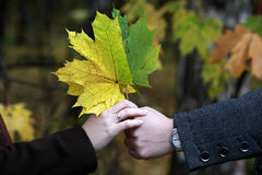 Bunch of maple leaves Royalty Free Stock Photography