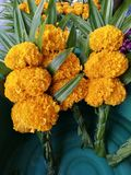 Bunch of marigold and Pandan for making merit in temple in special day. Closed-up Stock Photos