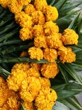 Bunch of marigold and Pandan for making merit in temple in special day Royalty Free Stock Photo