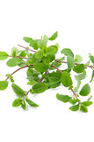 Bunch of marjoram Royalty Free Stock Photography