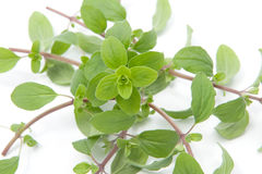 Bunch of marjoram Royalty Free Stock Images
