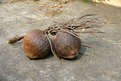 Bunch of mature coconut with stem. Placed on cement floor Stock Images