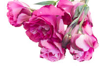 Bunch of  mauve eustoma flowers Royalty Free Stock Photos