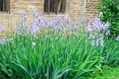Bunch of mauve violet iris flowers, green stem garden, close up. Outdoor stock photography