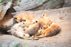 Bunch of meerkats lying together on a pile in a cave. Stock Photography