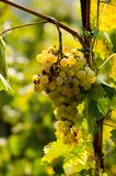 Bunch of mellow grape royalty free stock photography