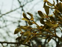 Bunch of mistletoe Royalty Free Stock Photography