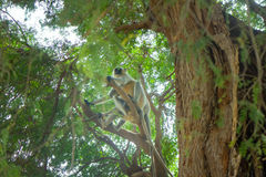 Bunch of monkeys langur got the branchy tree Royalty Free Stock Images