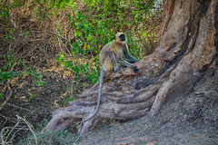 Bunch of monkeys langur got the branchy tree Royalty Free Stock Photography