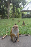 Bunch of monkeys Royalty Free Stock Photo
