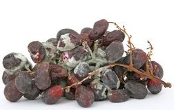 Bunch of mouldy red grapes. Bunch of moldy red grapes isolated on white, copy space, macro, close up Royalty Free Stock Images
