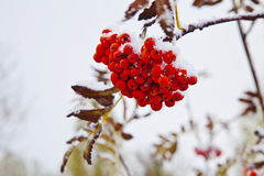 Bunch of mountain ash on a branch Royalty Free Stock Image