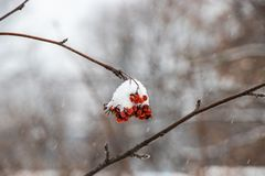 A bunch of mountain ash under the snow royalty free stock images