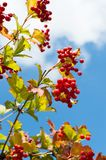 Bunch of mountain red ash Royalty Free Stock Photo